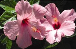 dc_p_hibiscus