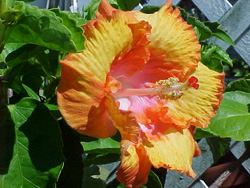hibiscus12
